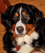 LOST Chapel Hill Dog BUTTONS Bernese Mountain Dog